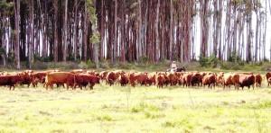 Red Angus na S.F.